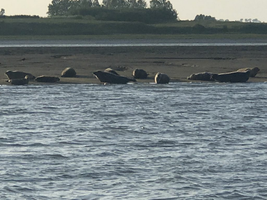 Seals off Whitstable